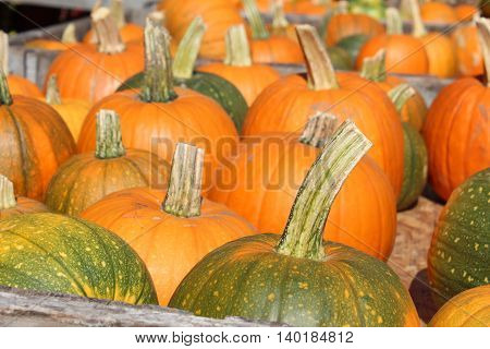 an array of pumpkins waiting to be picked for halloween