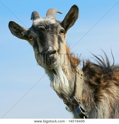 Shaggy smiling goat over blue sky background