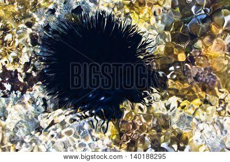 Sea urchin on a rock under water, west coast of peninsula Sithonia, Chalkidiki, Greece