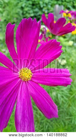 Close up of beautiful pink Cosmos flowers