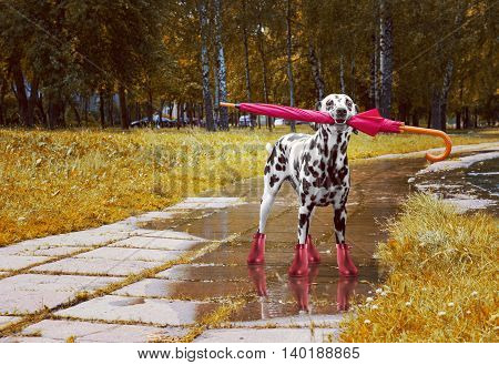 Dog walking after rain with umbrella -- toned photo