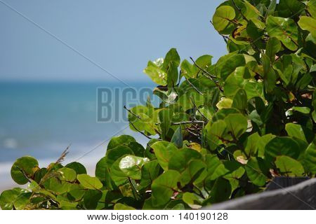 Up Close of Sea Grapes with Blue Ocean in the Background