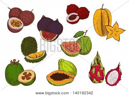 Tropical papaya, star fruit, feijoa, dragon fruit, guava, passion fruit, lychee, fig and durian fruits sketches. Fresh exotic fruits for cocktail menu or greengrocery market design