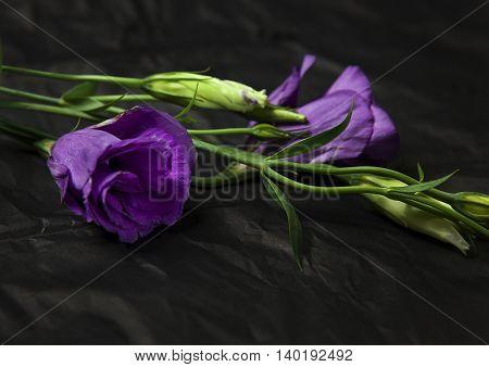 Studio shot of an eustoma flower