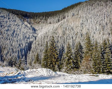 Winter Landscape With Carpathians Mountains Romania Snow Covered Pine Wood