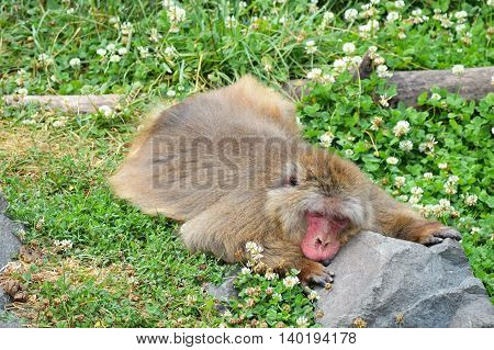 A snow monkey resting in the grass