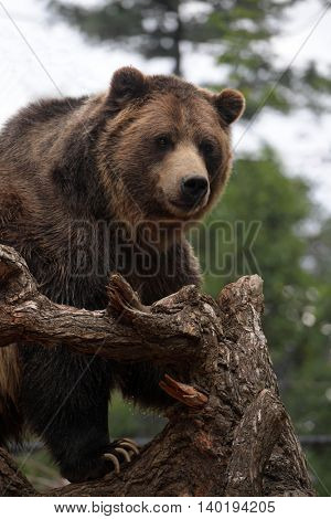 Grizzly bear looking over tree in its natural habitat