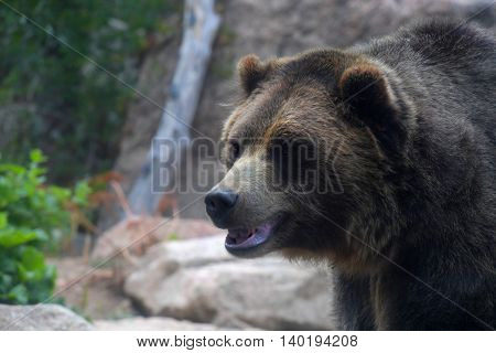 Head of grizzly bear in its natural environment