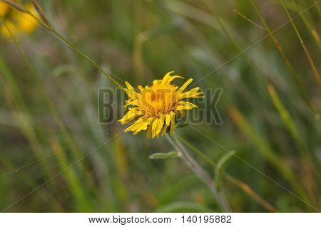 Flower of an Eastern leopards bane (Doronicum columnae) in the Sibillini Mountains in Italy.