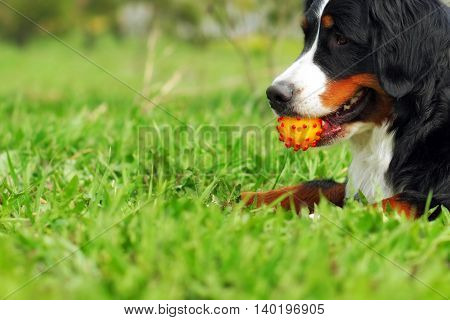 happy family dog Bernese mountain dog lying on the grass in the summer and holds the teeth in a ball while smiling