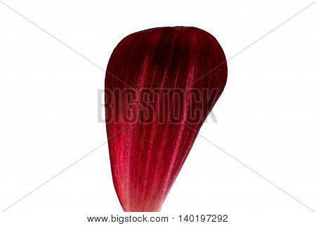 red flower dahlia petal on white background
