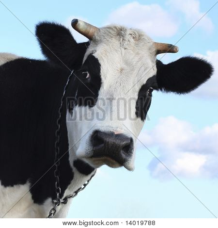 Sad cow over blue sky background