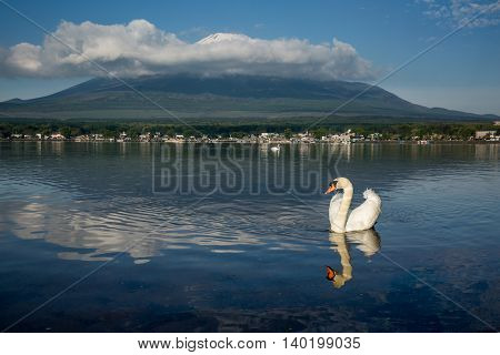 White Swan With The Reflection Of Mt Fuji On The Background