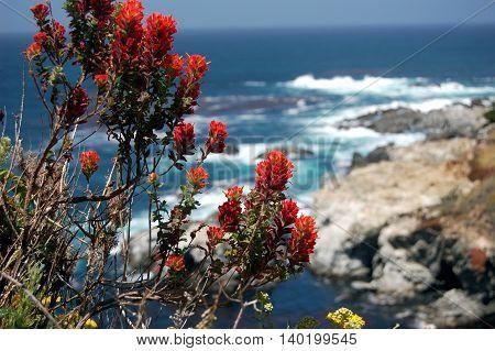 Indian paintbrush or prairie-fire ablaze on a blue ocean shoreline. Big Sur, California