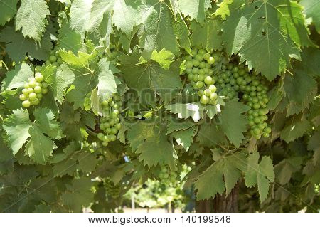 bunches of grapes riping in a vineyard