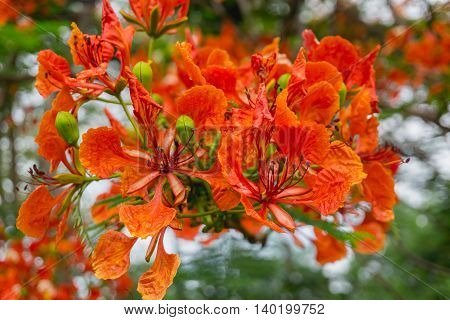 close up orange Royal Poinciana Flam-boyant The Flame Tree