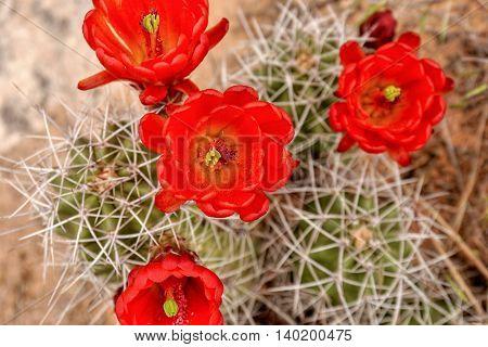 Red cactus flower in nature. Utah desert.