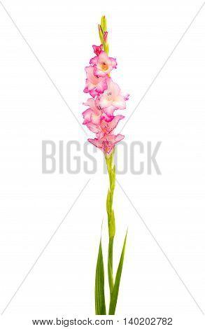 iris flower pink gladiolus isolated on white background