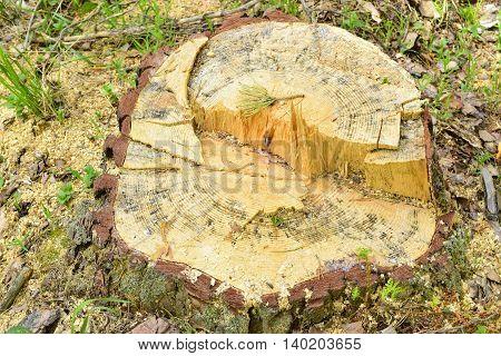 The cut tree, pine tree stump