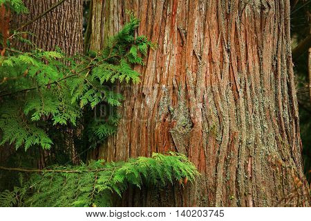 a picture of an exterior Pacific Northwest old growth Yellow cedar tree