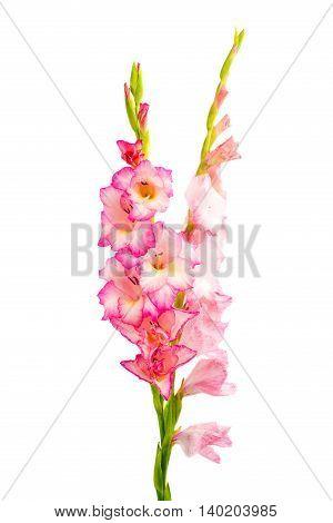 pink gladiolus iris flower isolated on white background