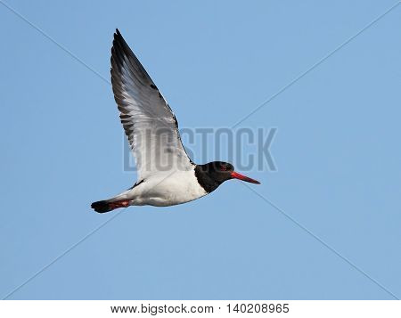 Eurasian oystercatcher in flight with blue skies in the background
