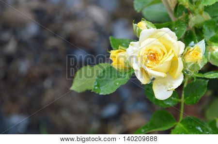 yellow rose blooming in the garden on morning