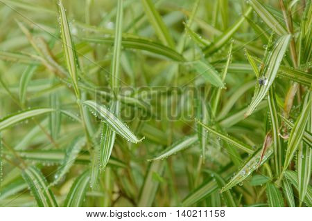bamboo hedge herb for feeding pet in the park