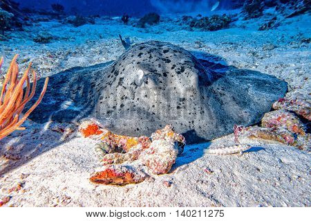 Giant Blackparsnip Stingray Fish During Night Dive