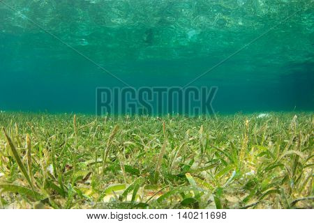 Underwater ocean background with seagrass