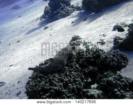 Fish is sitting on the corals. The coral reef. Underwater paradise for scuba diving freediving. Red sea Dahab Egypt.