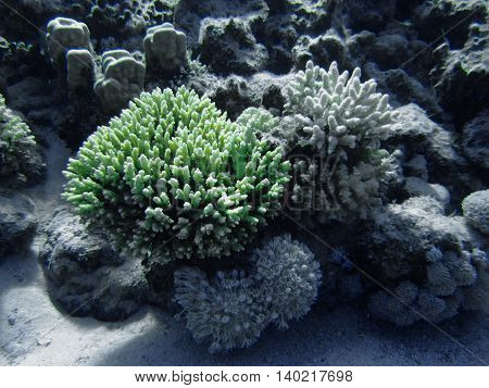 The coral reef on the sand bottom. Underwater paradise for scuba diving freediving. Red sea Dahab Egypt.