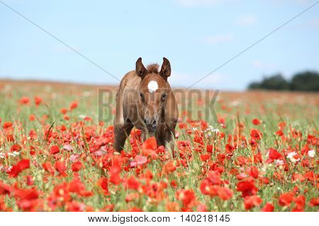 Amazing Arabian Foal Running In Red Poppy Field