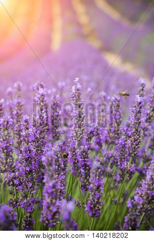 Beautiful lavender blossoms in detail with nice sunshine on background