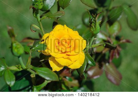 Beautiful yellow rose in a garden on green background