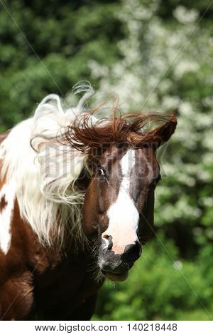 Beautiful Paint Horse Stallion Shaking With His Head