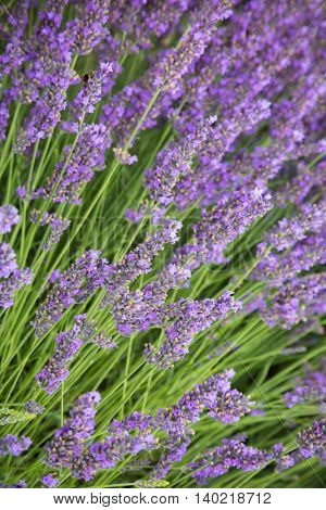 Beautiful lavender blossoms in detail, low depth of focus