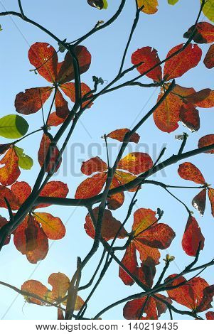 Blue sky and Red leaves of sea-almond tree