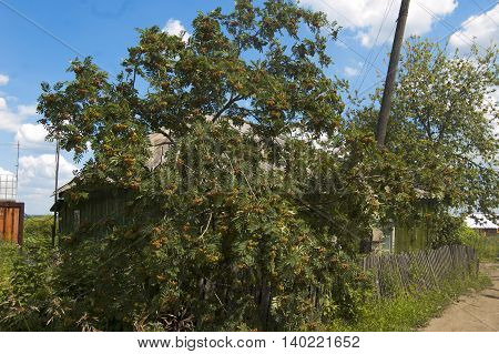 Russian village, green ash tree by the old fence
