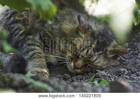 sleeping siberian cat scar head on earth