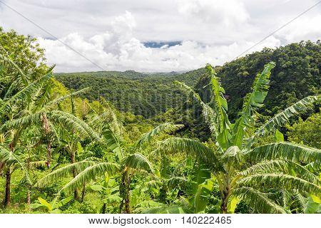 banana trees on the plantation, Caribbean island