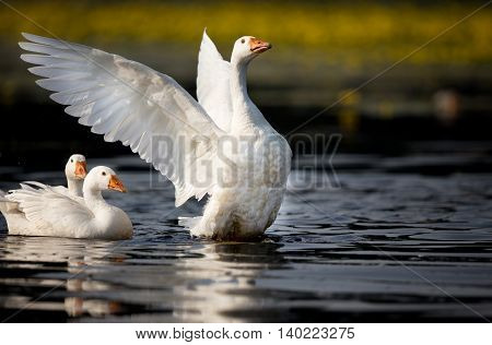 Domestic Geese On The Lake