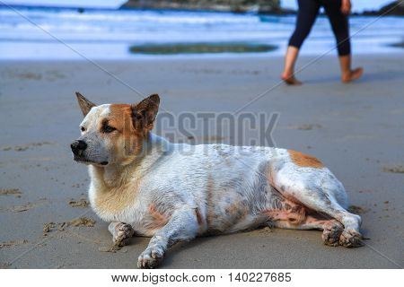Lonely sad dog lying on the beach. From the dog people out.