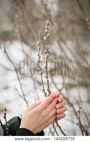 Woman holding willow branches in her hands at the beginning of spring. Willow branches in female hands. Symbol of spring. Easter. Outdoors.