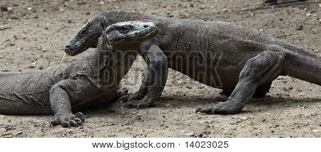 Komodo dragons. Rinca island. National park Komodo.