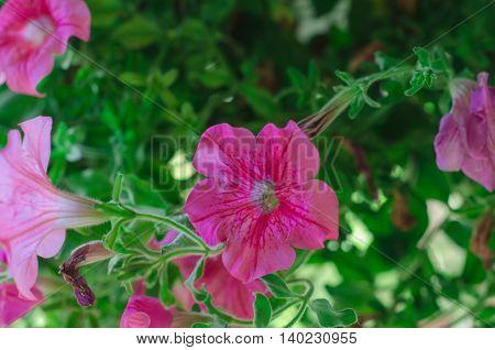 Close up Surfinia petunia in summer garden