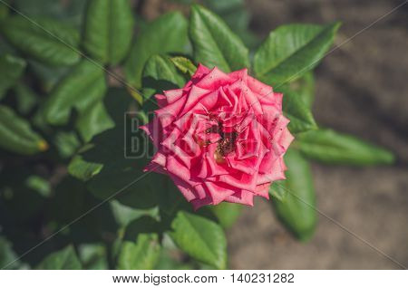 Beautiful pink rose in a garden on green background