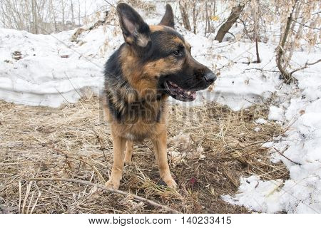 German Shepherd Dog Is Guarding An Important Object