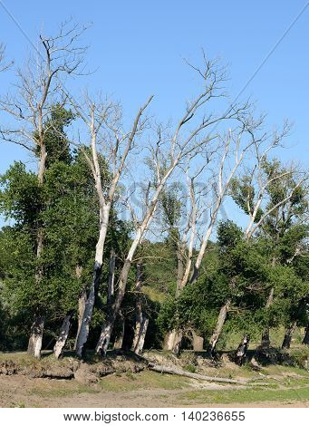 Dry trees on a background of blue sky
