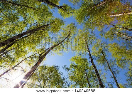 Green birchwood in a sunny day the bottom view